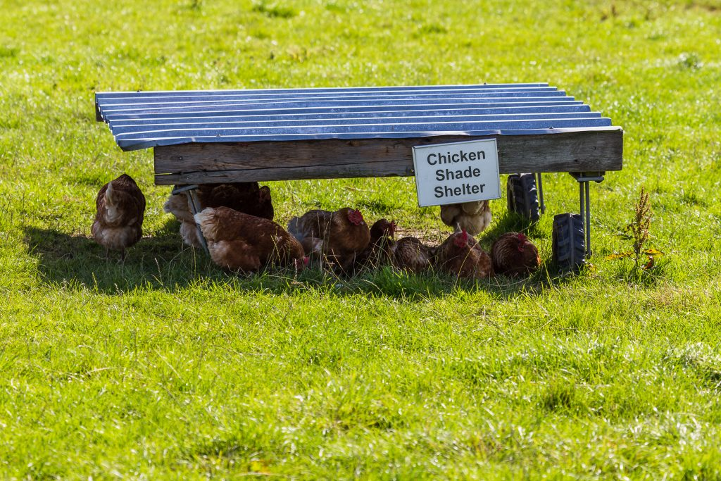 Providing shade to chickens in a field