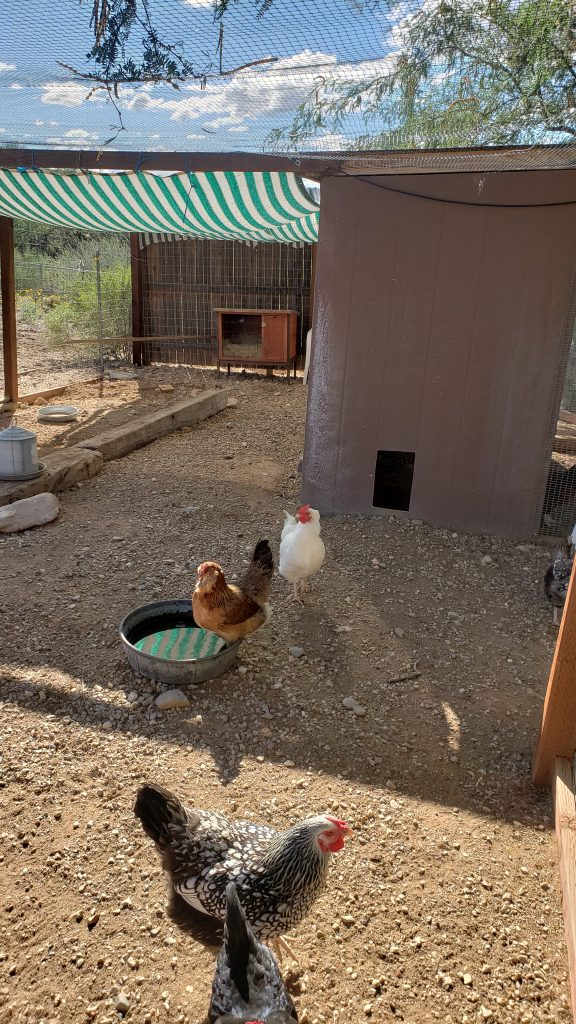 Using a tarp to provide shade to a flock of chickens