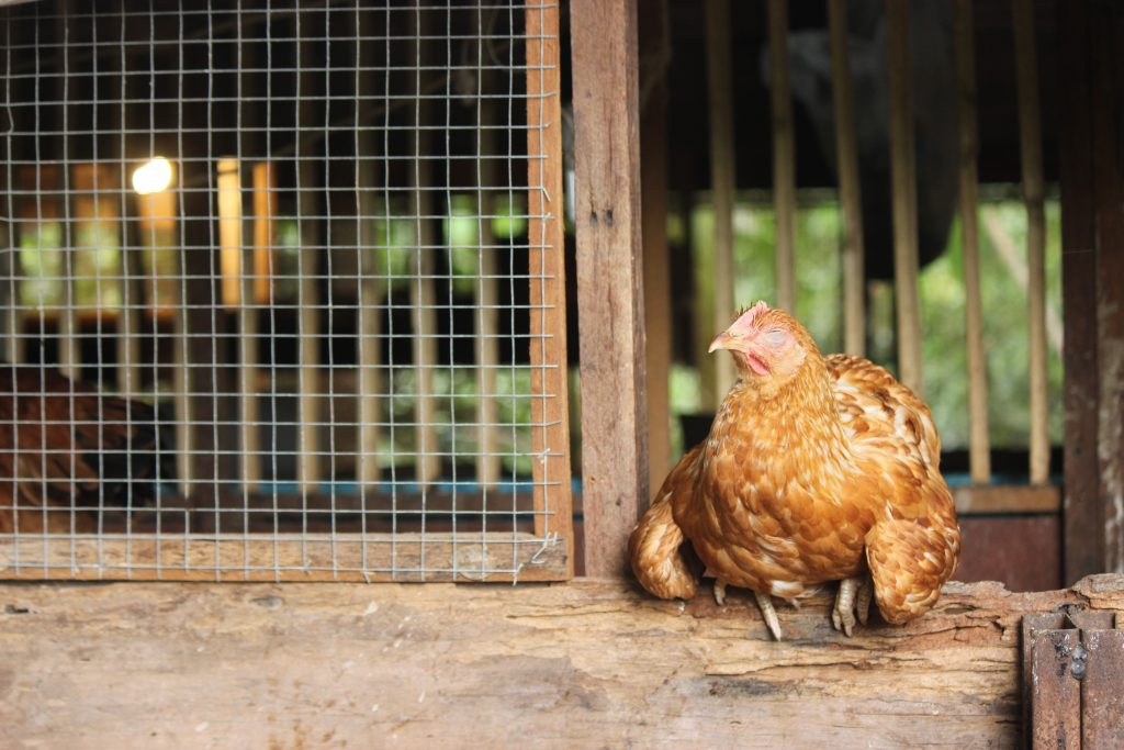 Hen showing signs of heat stress with wings held out