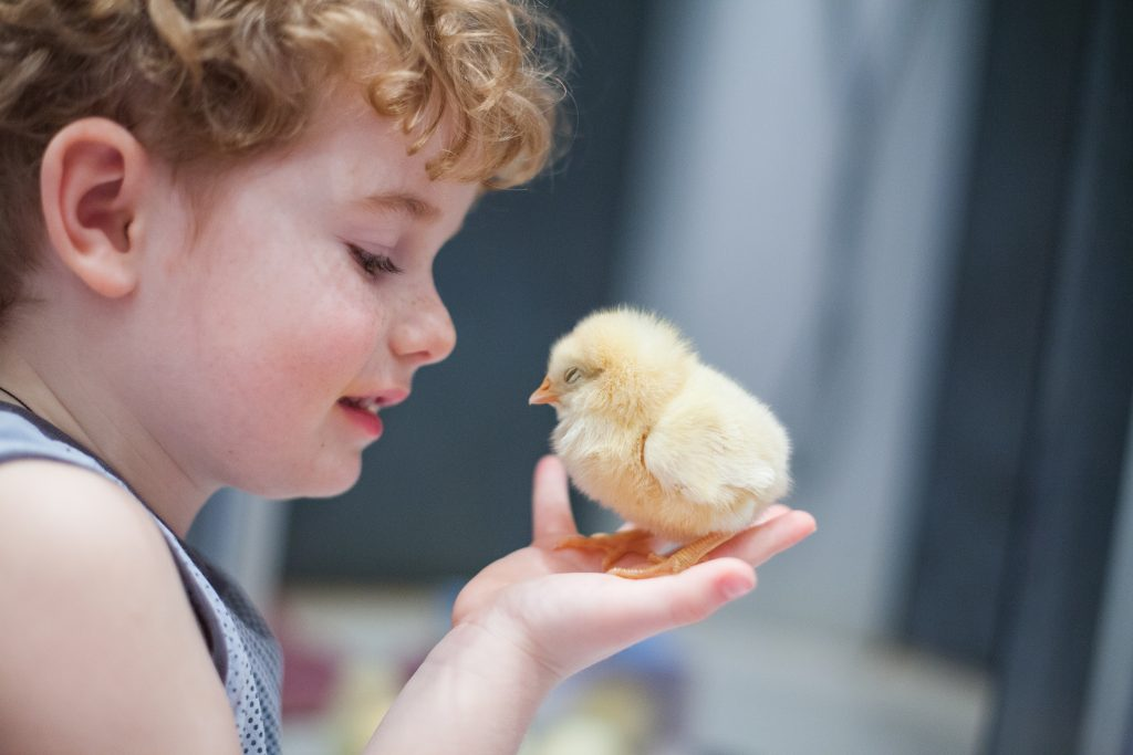 child holding newly hatched chick